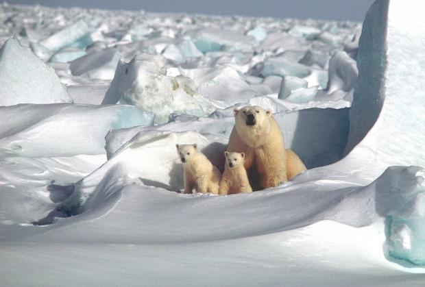 polar-bear-1509103_1280.jpg