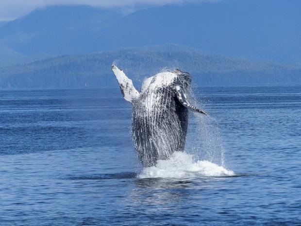 humpback-whale-431902_640.jpg