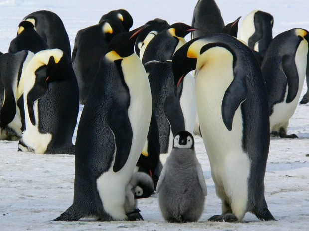 penguins-429128_960_720.jpg