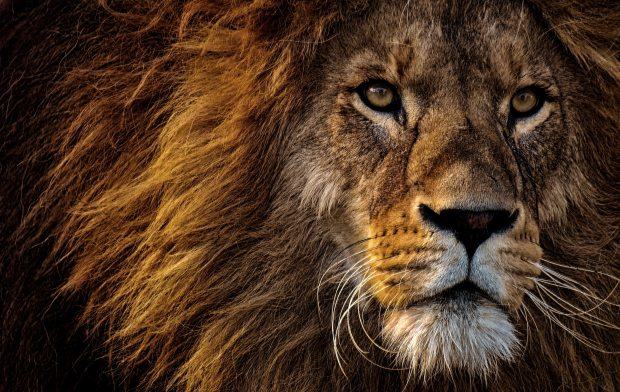 close-up-photo-of-lion-s-head-2220336
